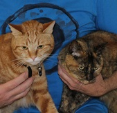 Angus, a ginger cat, with Sapphire, a tortoiseshell cat