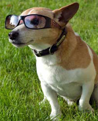 Desex_Jackrussell_glasses34
