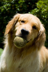Desexdog_Golden_ball_mouth3