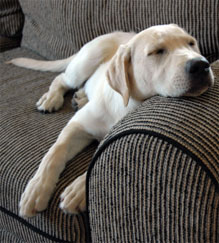 Desexdog_Rest_lab_sofa39187