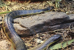 Two Tiger Snakes