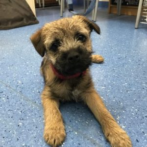 Charli a 12 week old Border Terrier